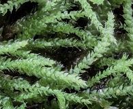 Myurella sibirica