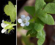 Nemophila aphylla