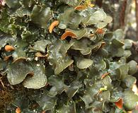 Nephroma resupinatum
