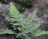 Notholaena aschenborniana