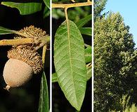 Notholithocarpus densiflorus