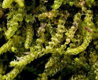 Nowellia curvifolia
