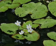 Nymphoides cristata