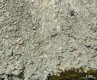 Ochrolechia yasudae