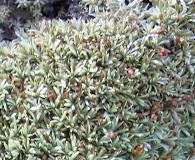 Octoblepharum albidum