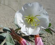Oenothera californica