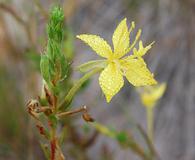 Oenothera clelandii