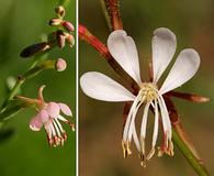 Oenothera hexandra