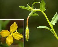 Oenothera pubescens