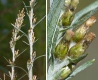 Omalotheca sylvatica