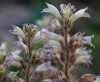Orobanche pinorum