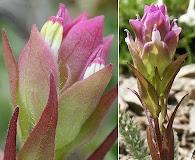Orthocarpus imbricatus