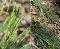 Oryzopsis asperifolia