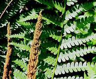 Osmundastrum cinnamomea