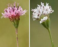 Palafoxia rosea