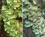 Parmotrema xanthinum