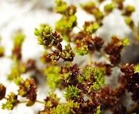 Paronychia herniarioides