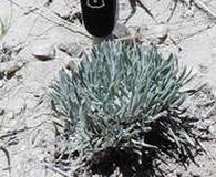 Parthenium alpinum