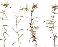 Pectis linearifolia