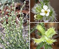 Pectocarya heterocarpa