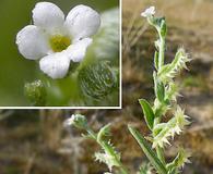 Pectocarya platycarpa