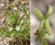 Pectocarya recurvata