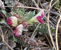 Pedicularis centranthera