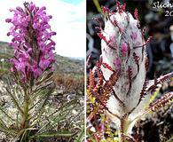 Pedicularis lanata