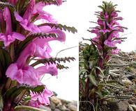 Pedicularis langsdorffii