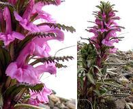 Pedicularis langsdorffii