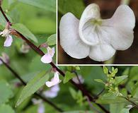 Pedicularis racemosa