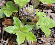 Pediomelum hypogaeum