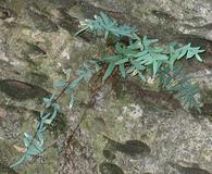 Pellaea glabella