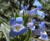 Penstemon dolius