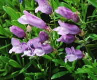 Penstemon fruticosus