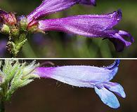 Penstemon gracilentus