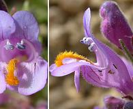 Penstemon janishiae