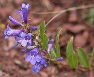 Penstemon leonardii