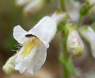 Penstemon pallidus