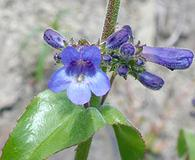 Penstemon subserratus