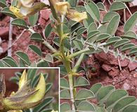 Peteria thompsoniae