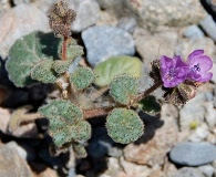 Phacelia calthifolia