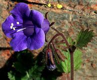 Phacelia campanularia