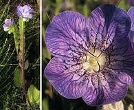 Phacelia grandiflora