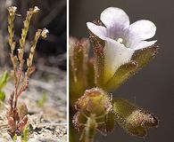 Phacelia lemmonii