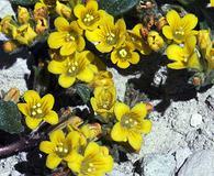 Phacelia lutea