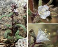 Phacelia racemosa