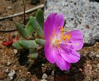 Phemeranthus brevicaulis
