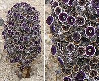 Pholisma arenarium