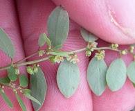 Phyllanthus caroliniensis